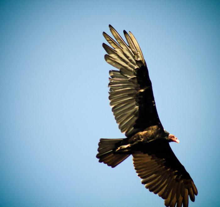 Condor des Andes de Patagonie | © CC BY-SA 2.0 Alanbritom @ flickr