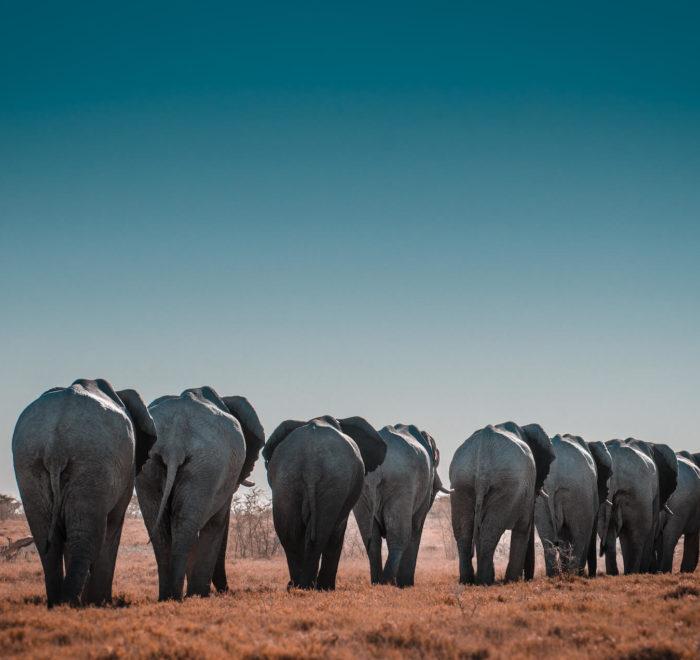 L'abondante faune du Parc Etosha