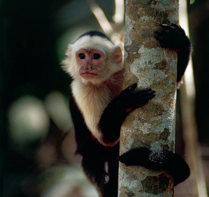 Le Singe Capucin   © Costa Rica Tourism Board
