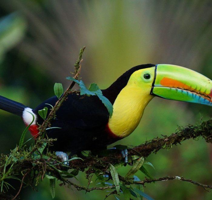 Le Toucan, symbole du Costa Rica