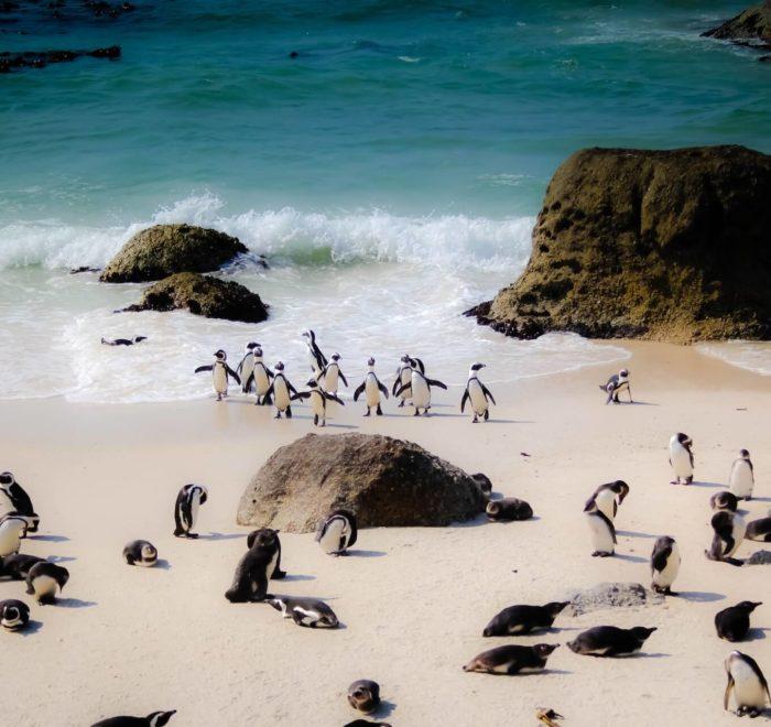 Rencontre avec les pingouins de Boulders Beach