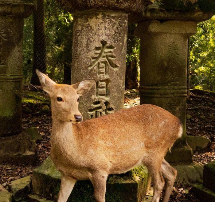 Nara et ses daims