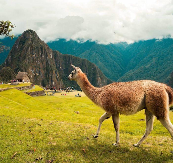 Le lama, animal symbole des Incas